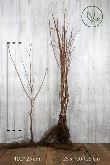 Feldahorn Wurzelware 100-125 cm Extra Qualtität