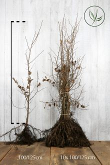 Hainbuche, Weissbuche  Wurzelware 100-125 cm Extra Qualtität