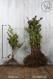 Amethystbeere 'Magic Berry' Wurzelware 40-60 cm