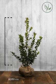 Stechpalme 'Blue Maid' Wurzelballen 60-80 cm