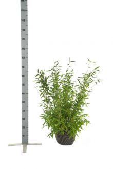 Schirmbambus 'Jumbo' Wurzelballen 60-80 cm
