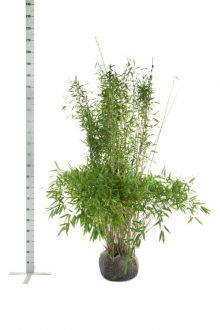 Schirmbambus 'Jumbo' Wurzelballen 150-175 cm