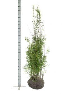 Jadebambus Wurzelballen 175-200 cm