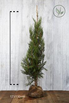 Grüne Bastardzypresse  Wurzelballen 125-150 cm