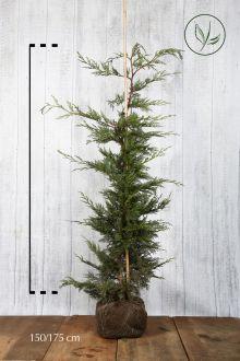 Grüne Bastardzypresse  Wurzelballen 150-175 cm