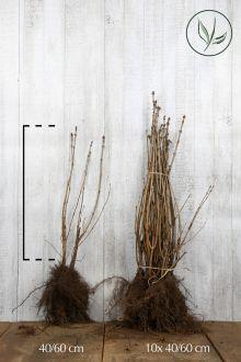 Gemeiner Flieder Wurzelware 40-60 cm