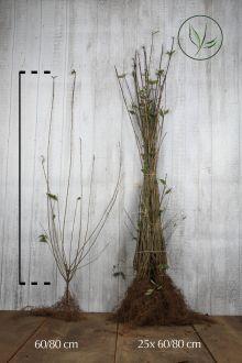 Wintergrüner Liguster 'Atrovirens' Wurzelware 60-80 cm