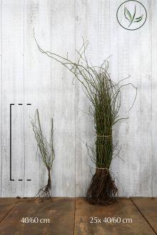 Heckenrose Wurzelware 40-60 cm