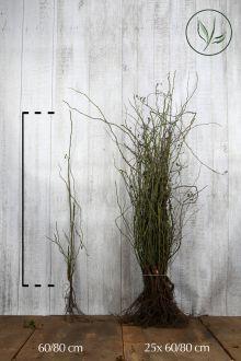 Heckenrose Wurzelware 60-80 cm