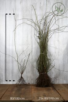 Heckenrose Wurzelware 80-100 cm