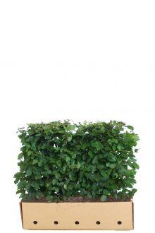 Hainbuche, Weißbuche  Fertig-Hecken 80 cm Fertig-Hecken