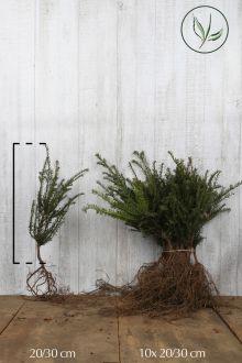 Gemeine Eibe Wurzelware 20-30 cm