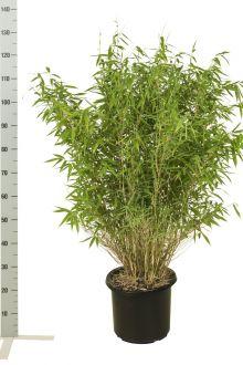 Schirmbambus 'Jumbo' Topf 80-100 cm