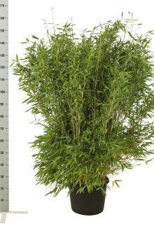 Schirmbambus 'Jumbo' Topf 125-150 cm