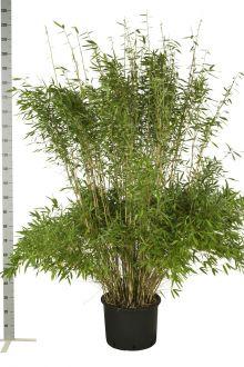 Schirmbambus 'Jumbo' Topf 175-200 cm