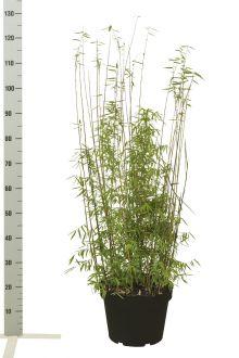 Jadebambus Topf 80-100 cm