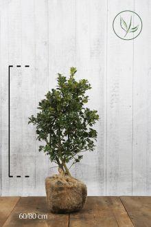 Stechpalme 'Heckenfee' Wurzelballen 60-80 cm