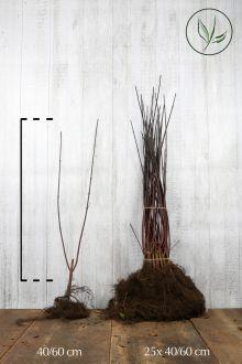 Schwarzholz-Hartriegel 'Kesselringii' Wurzelware 40-60 cm