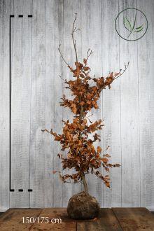 Rotbuche  Wurzelballen 150-175 cm Extra Qualtität