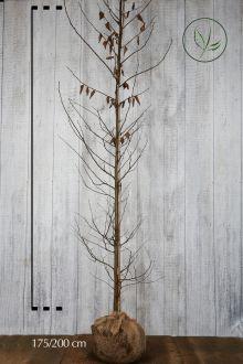 Hainbuche, Weissbuche  Wurzelballen 175-200 cm Extra Qualtität