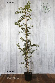 Hainbuche, Weissbuche  Topf 150-175 cm Extra Qualtität