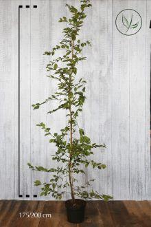 Hainbuche, Weissbuche  Topf 175-200 cm Extra Qualtität