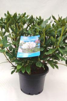 Rhododendron 'Cunninghams White'  Topf 60-70 cm Extra Qualtität
