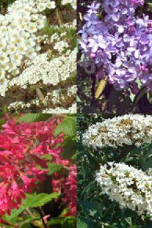 Hecke für Schmetterlinge und Insekten Topf 30-60 cm