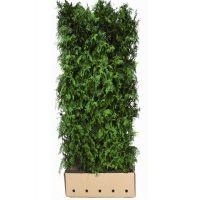 Amberbaum 'Worplesdon'  Fertig-Hecken 200 cm Extra Qualtität