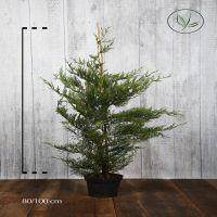 Grüne Bastardzypresse  Topf 80-100 cm Extra Qualtität