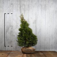 Lebensbaum 'Smaragd'  Wurzelballen 100-125 cm Extra Qualtität