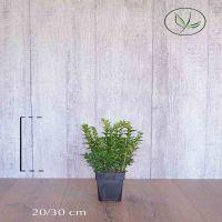 Buchsbaum - Sträucher Topf 20-30 cm