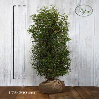Portugiesischer Kirschlorbeer  Wurzelballen 175-200 cm Extra Qualtität
