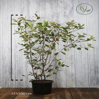Glanzmispel - 'Red Robin' Topf 125-150 cm