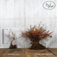 Berberitze Wurzelware 30-40 cm