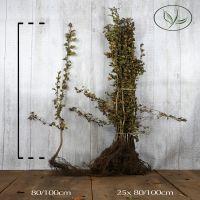 Eingriffeliger Weissdorn  Wurzelware 80-100 cm