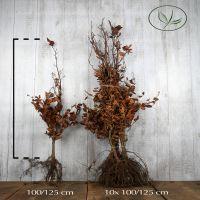 Blutbuche   Wurzelware 100-125 cm Extra Qualtität