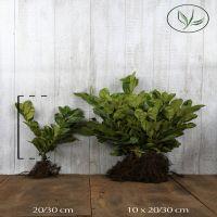 Grossblättriger Kirschlorbeer  Wurzelware 20-30 cm