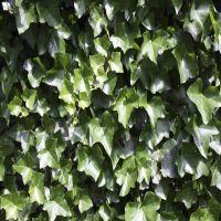 Irischer Efeu  Fertig-Hecken 180 cm Fertig-Hecken