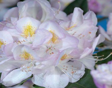 Rhododendron 'Gomer Waterer'