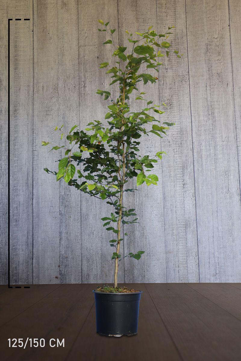 Rotbuche  Topf 125-150 cm Extra Qualtität