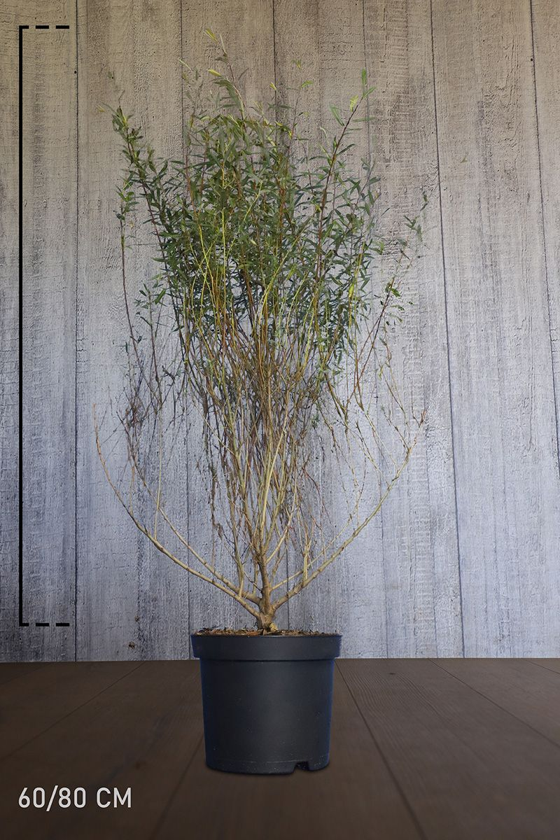 Niedrige Purpur-Weide  Topf 60-80 cm