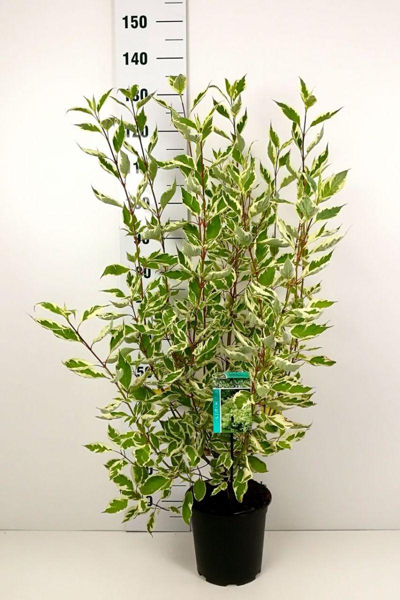 Rotholziger Hartriegel 'Elegantissima' Topf 60-80 cm