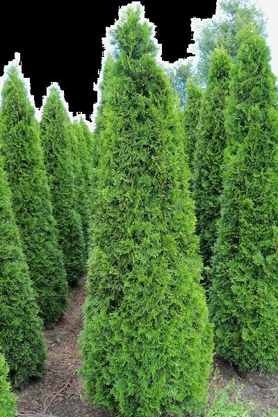 Lebensbaum 'Smaragd'  Wurzelballen 200-225 cm Extra Qualtität