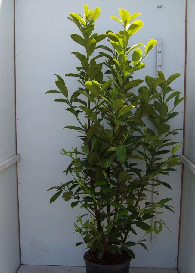 Kirschlorbeer 'Novita' Topf 175-200 cm
