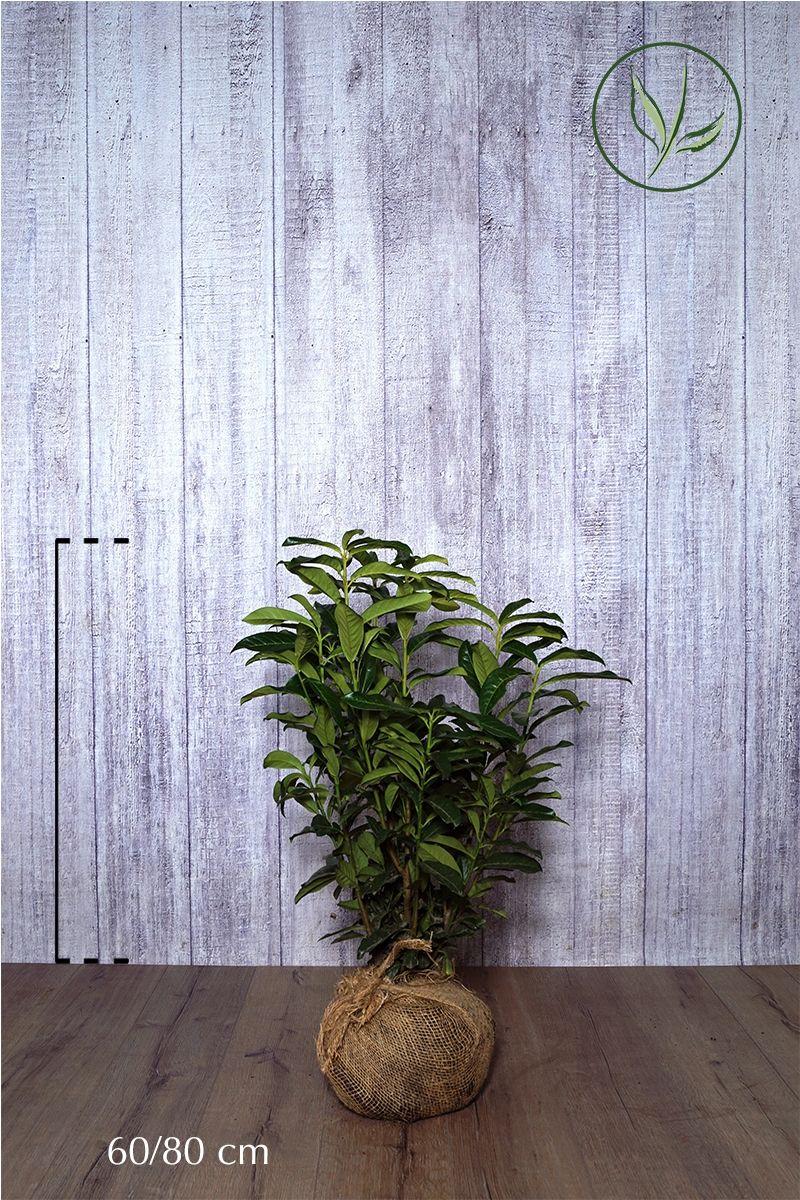 Kirschlorbeer 'Genolia'® Wurzelballen 60-80 cm Extra Qualtität