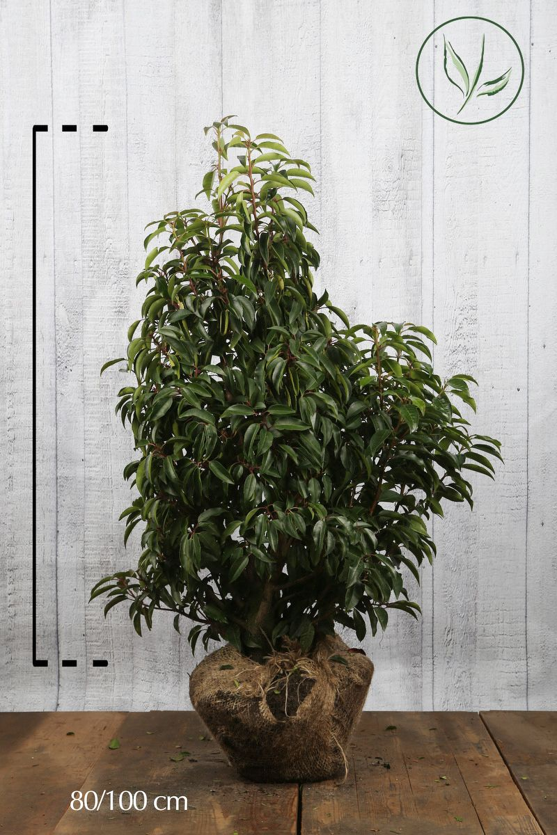 Portugiesischer Kirschlorbeer  Wurzelballen 80-100 cm Extra Qualtität