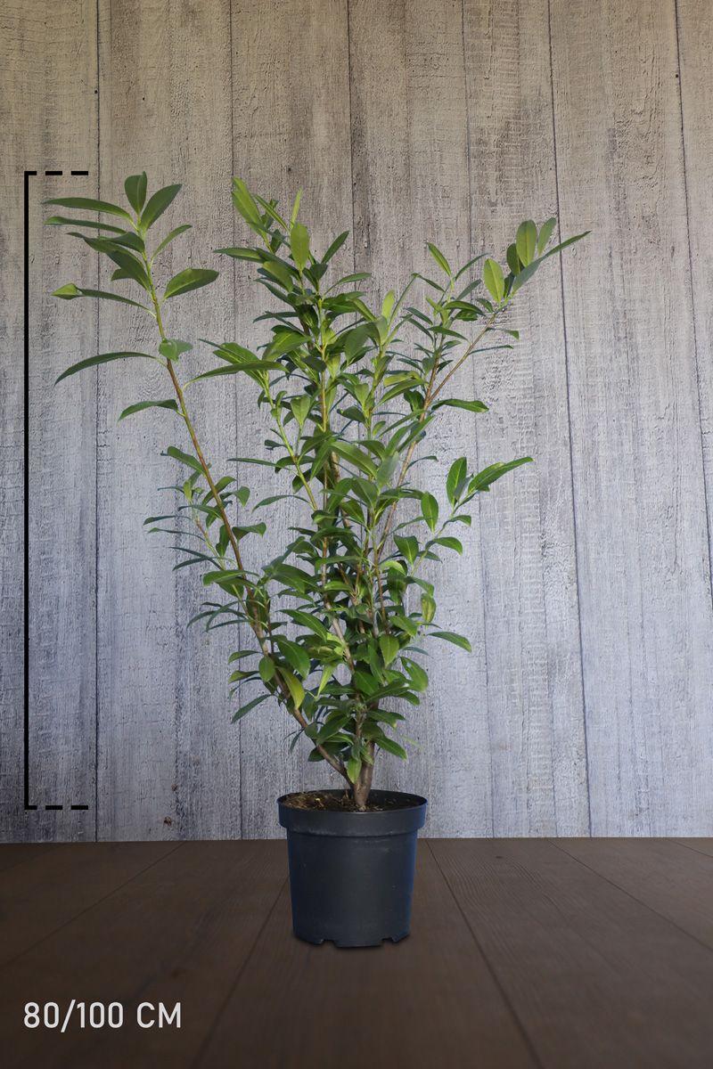 Kirschlorbeer 'Caucasica'  Topf 80-100 cm