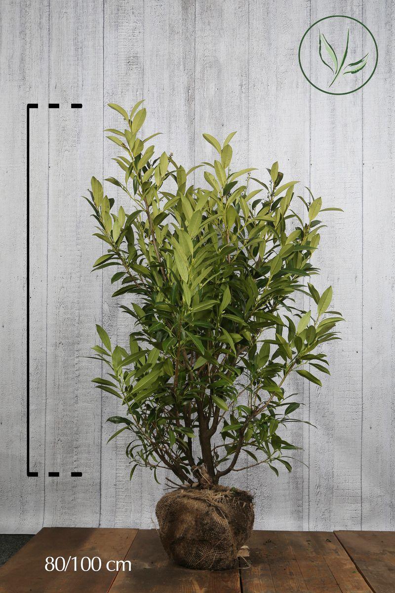 Kirschlorbeer 'Herbergii' Wurzelballen 80-100 cm Extra Qualtität