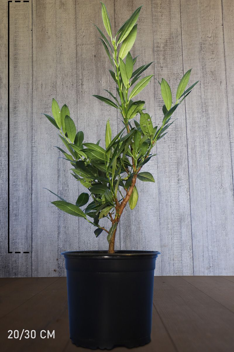 Breitwüchsiger Kirschlorbeer  Topf 20-30 cm